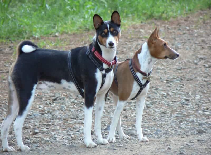 African Dog Breeds - Basenji