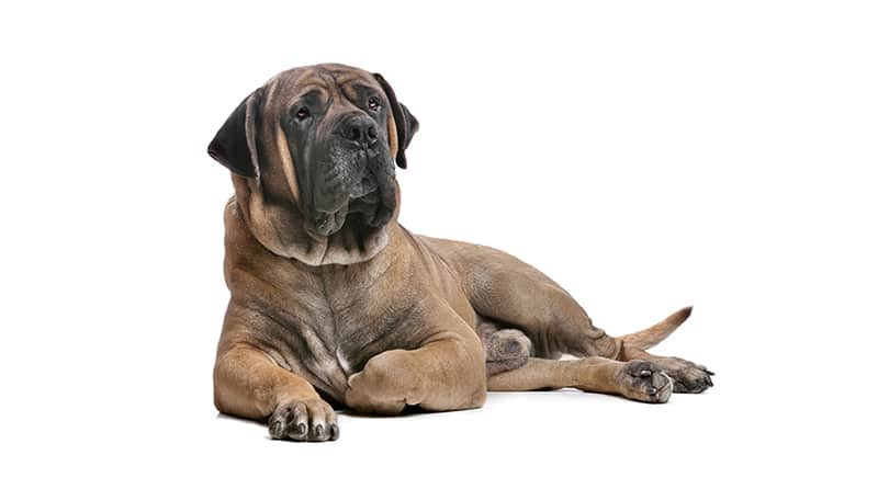 African Dog Breeds - Boerboel