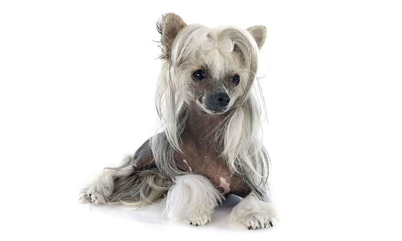 African dog breeds - Chinese Crested