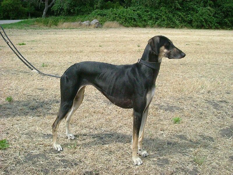 African dog breeds - Sloughi