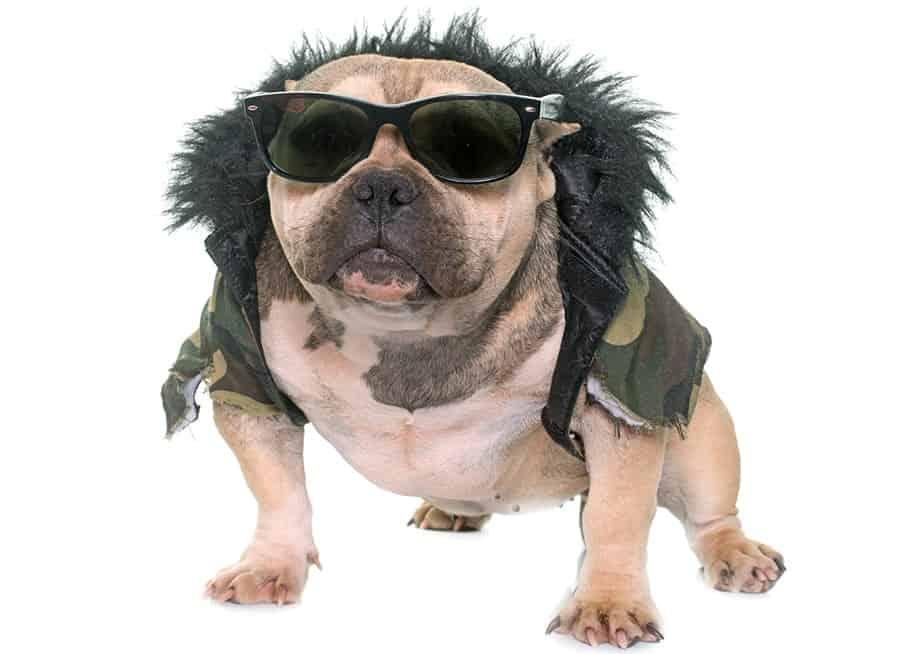 gracioso bulldog americano con gafas de sol
