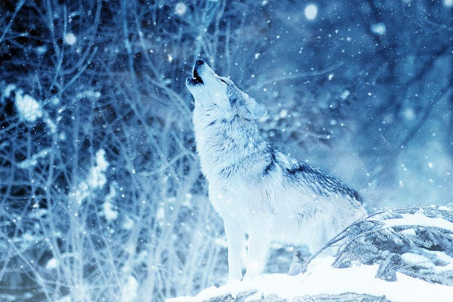 wolf names - wolf howling in snow