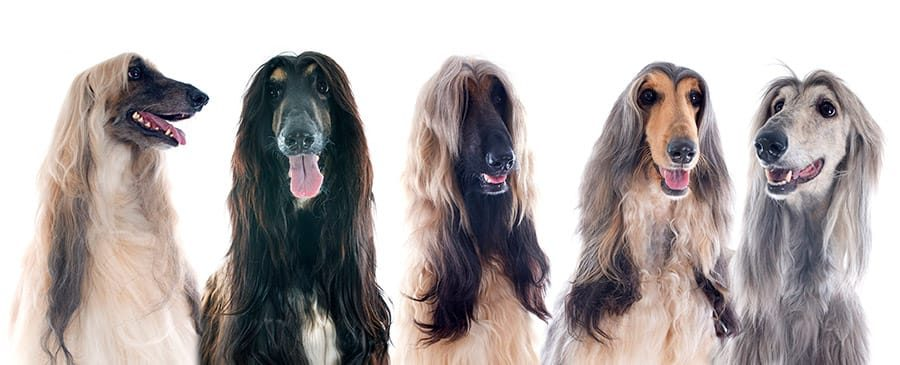 group of afghan hound breed photo