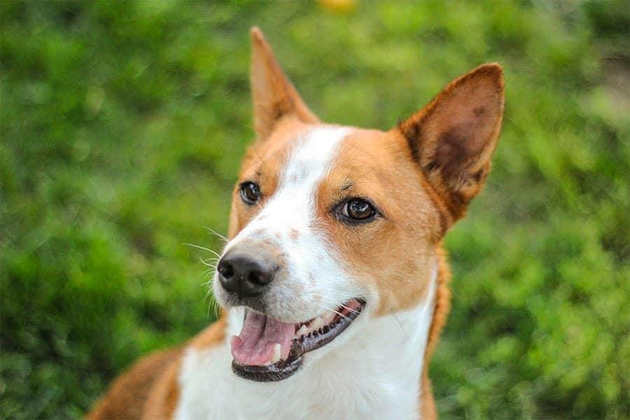 african dog names - basenji