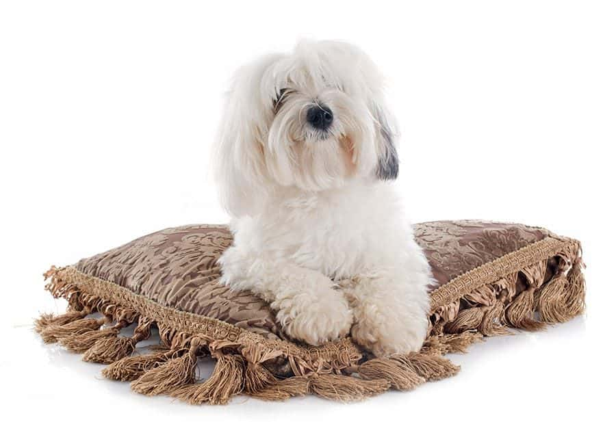 coton de tulear breed laying down