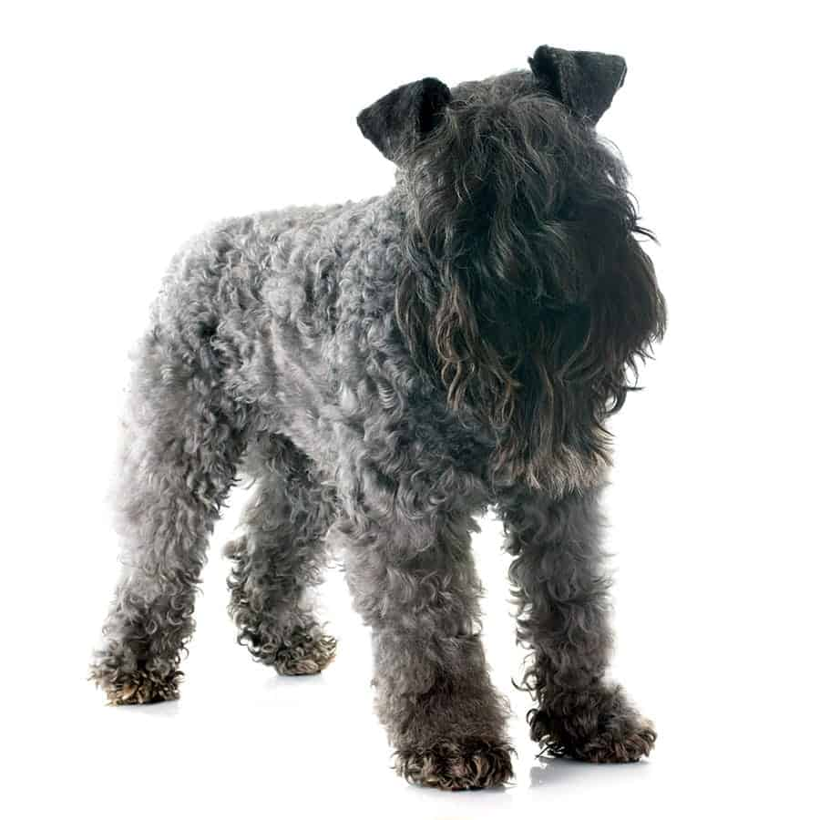 kerry blue terrier breed photo