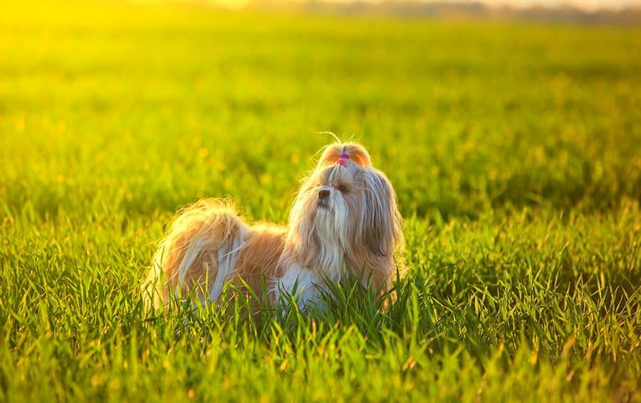 korean dog names - shih tzu