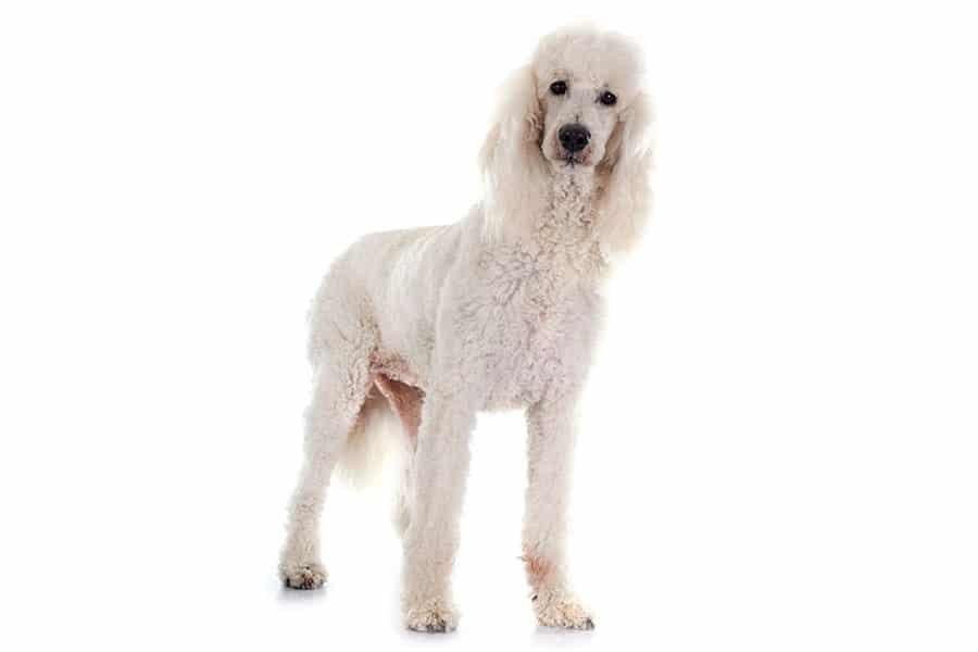 poodle breed photo