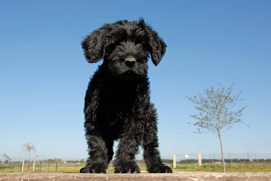 black portuguese water dog breed