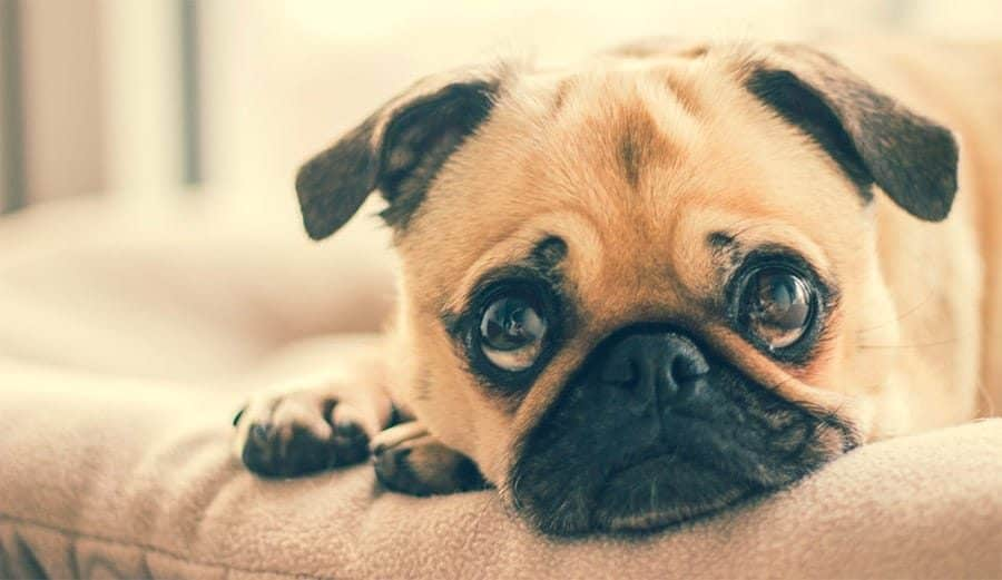 pug on couch breed photo