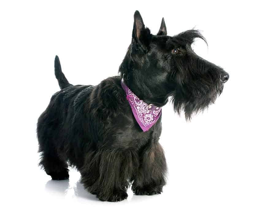 scottish terrier - scottie breed photo