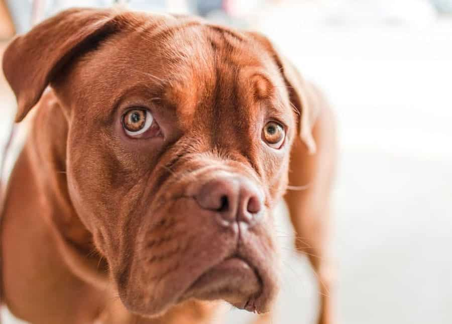 boxer breed photo