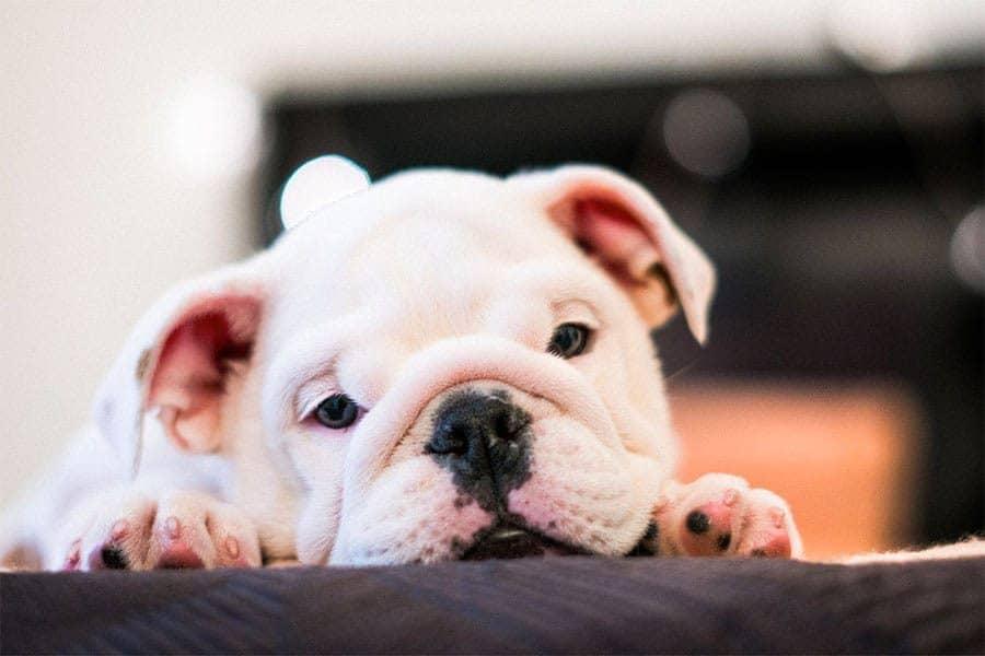 Bulldog breed photo