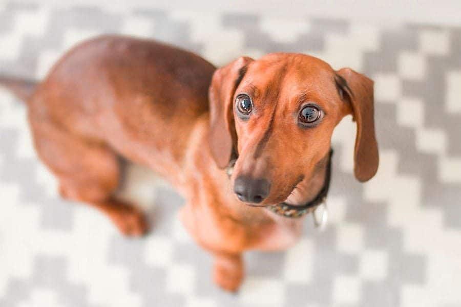 dachshund breed photo