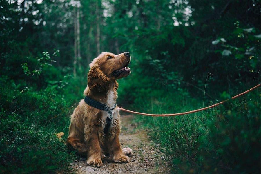 dog on leash - training