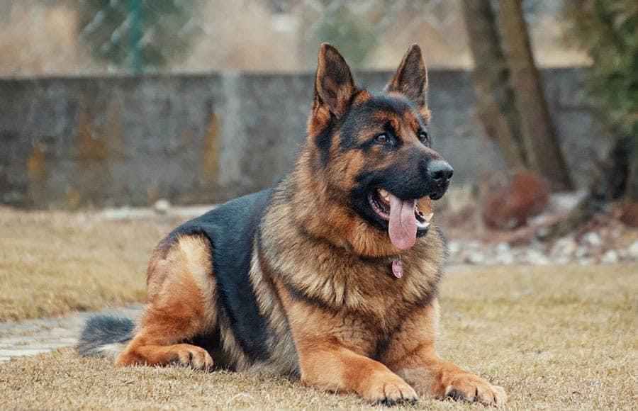 german shepherd breed photo