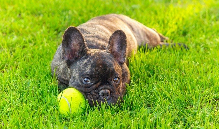 French Bulldog with Brindle Fur