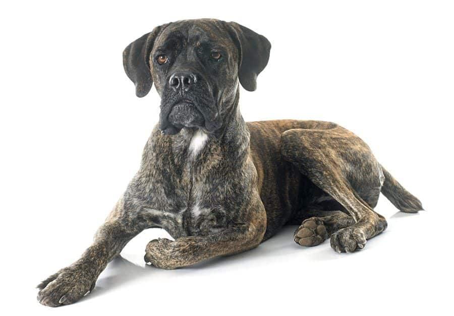 strong brindle dog