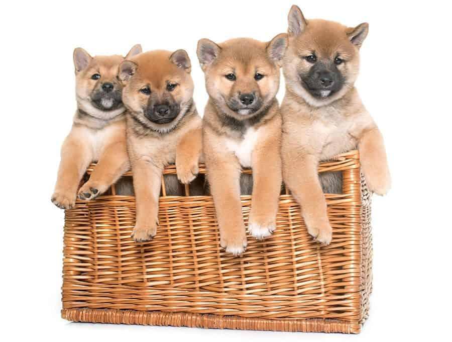 Shiba Inu Puppies - Japanese Dog Names
