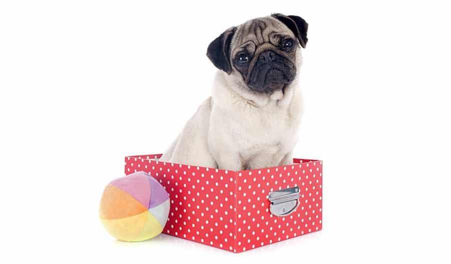 pug in box
