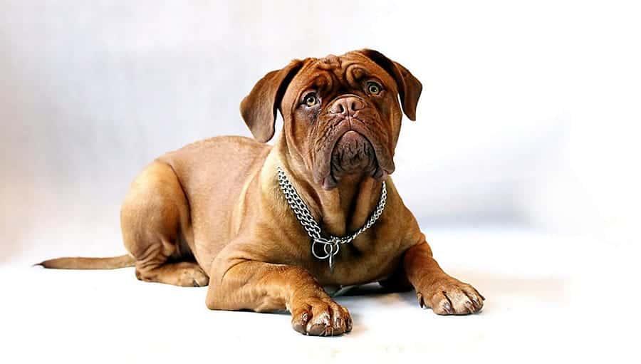Red mastiff puppy