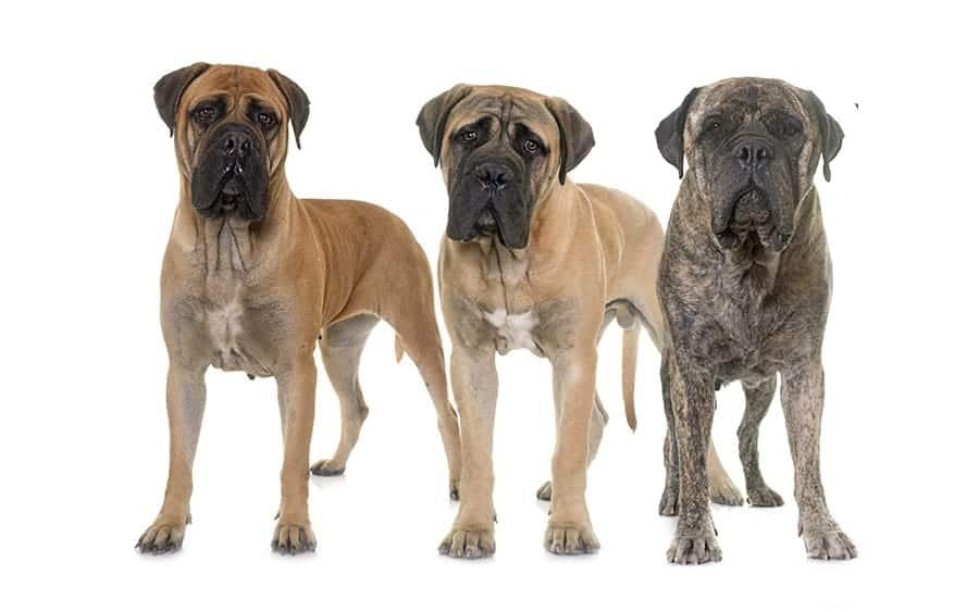 group of Mastiffs