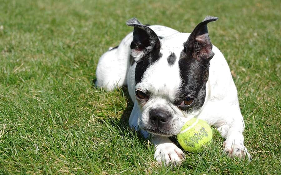 Terrier with a tennis ball