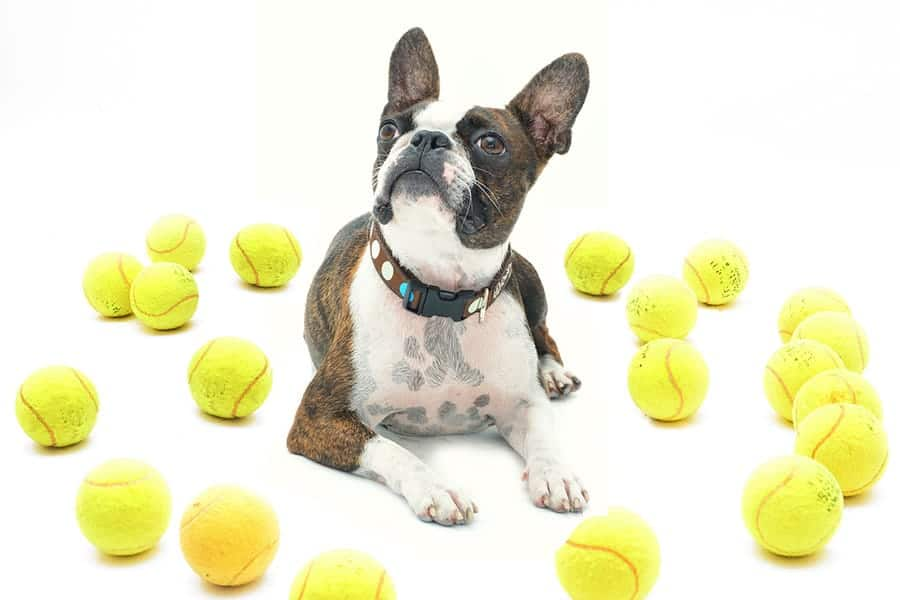 Boston Terrier surrounded by tennis balls