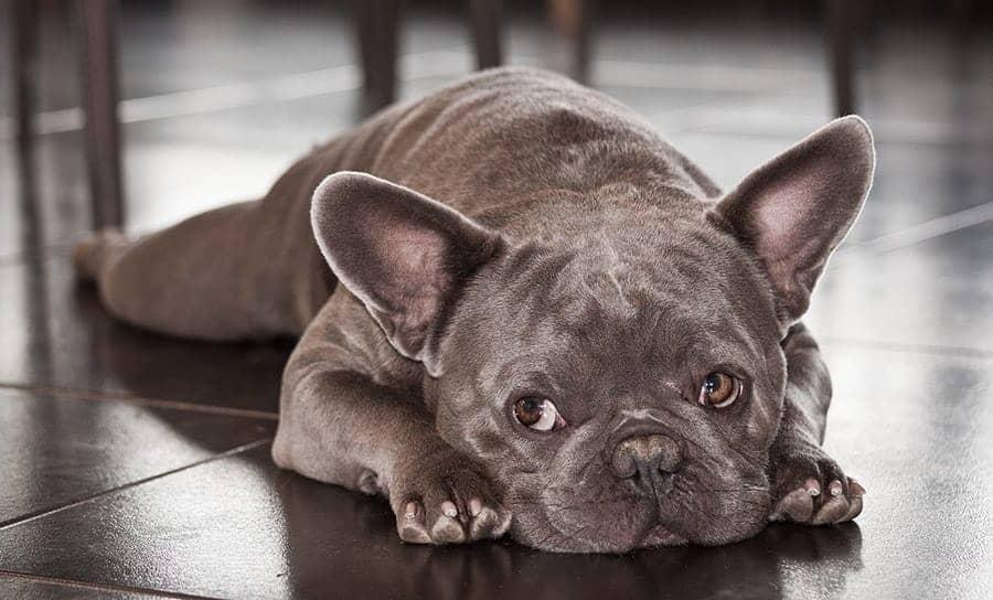 Grey Dog Names - French Bulldog