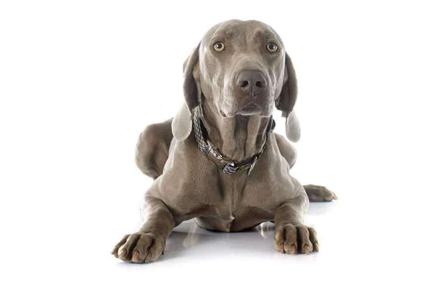 Weimaraner - grey dog names