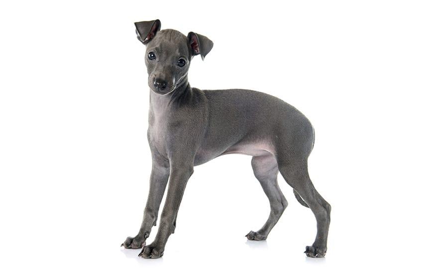 Grey dog names - grey puppy