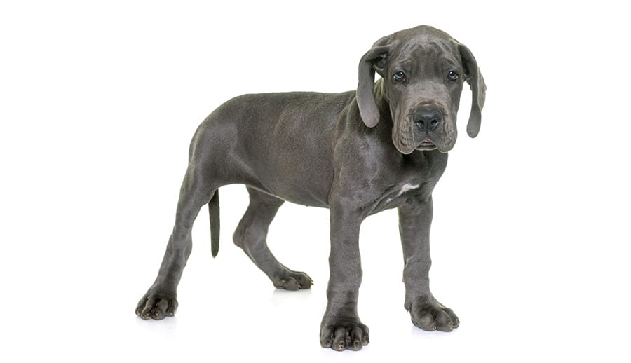 Grey Great Dane