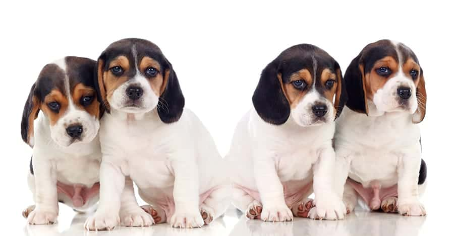group of beagle puppies