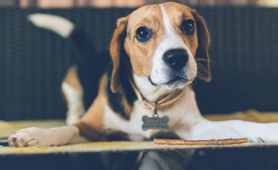 beagle eating a stick