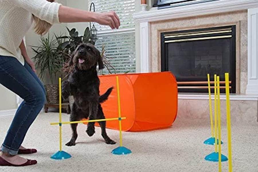 dog with agility course