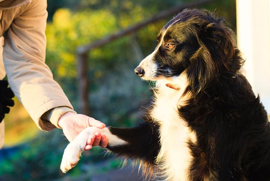 Collie shaking hands