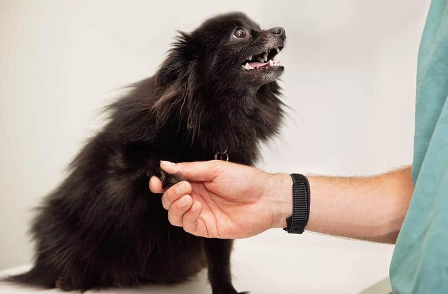 Pomeranian shaking hands