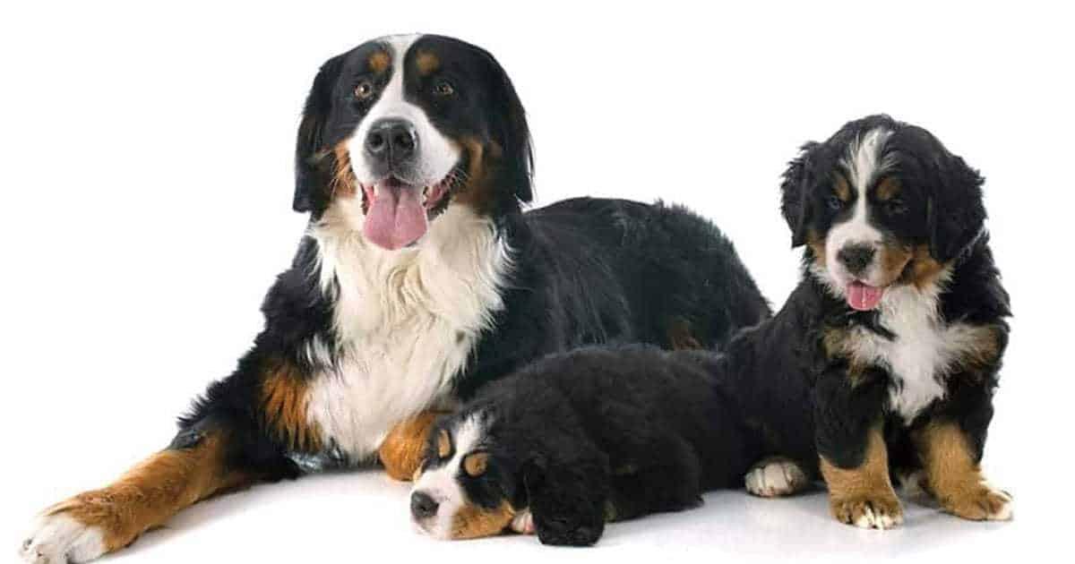 Bernese mountain dog names