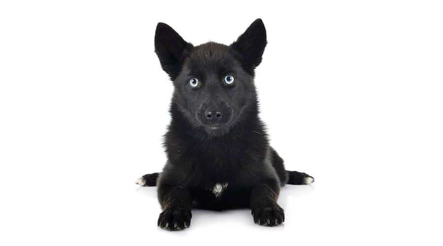 black dog with blue eyes