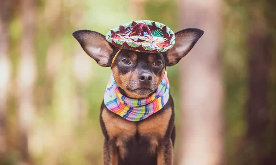 chihuahua with sombrero