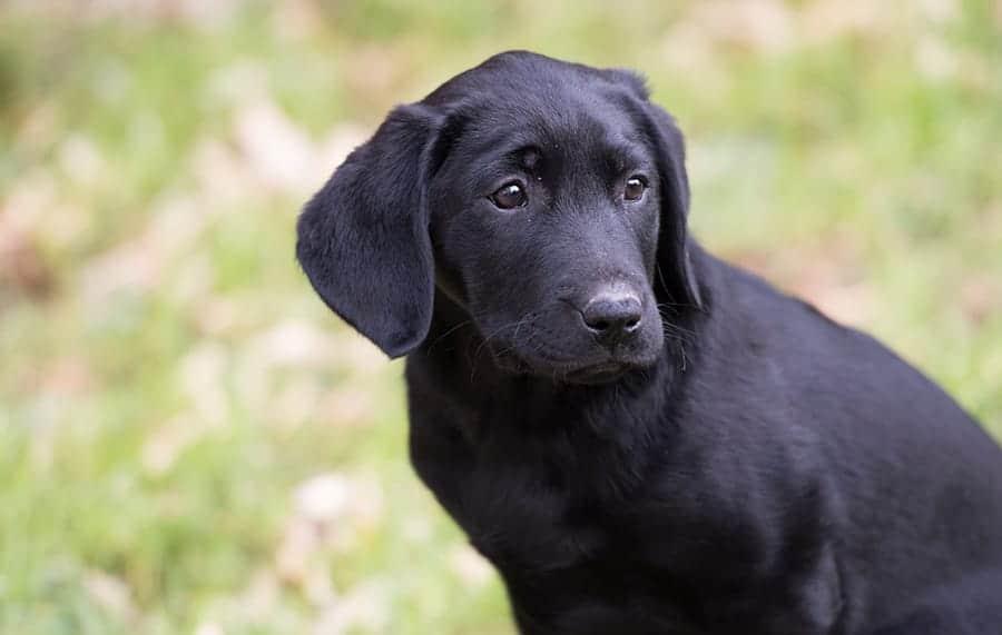 dark puppy