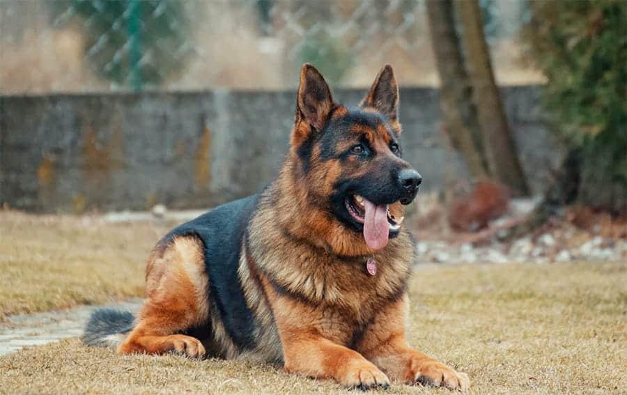 german dog names - german shepherd