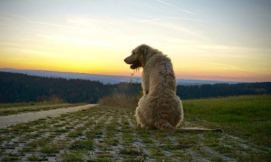 dog in country