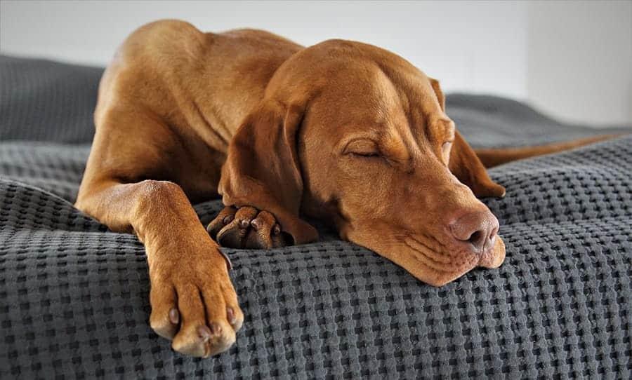 Why Do Dogs Sleep So Much