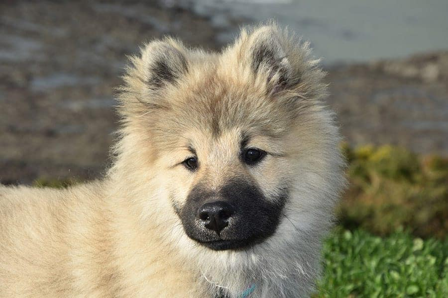 German dog breeds - Eurasier
