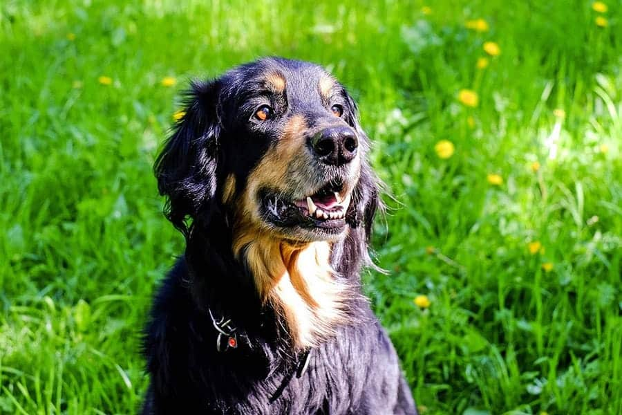 German dog breeds - Hovawart