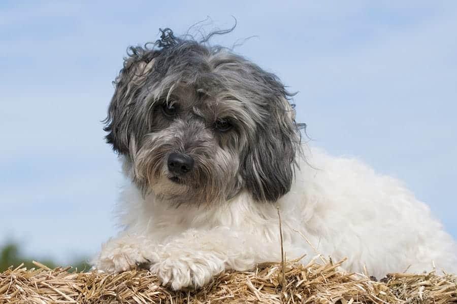 German dog breeds - Löwchen