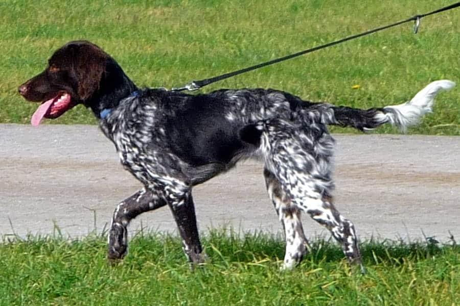 German dog breeds - Münsterländer