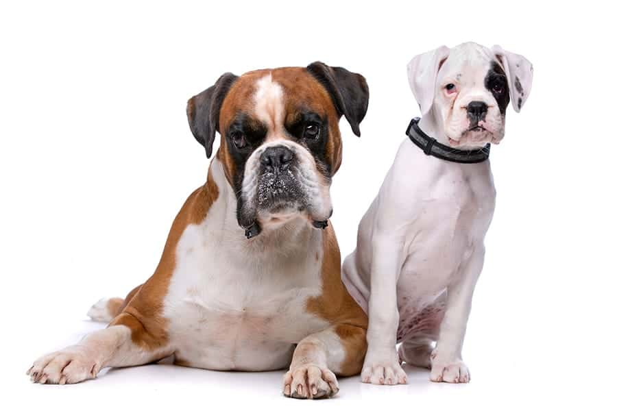 German dog breeds - Boxer