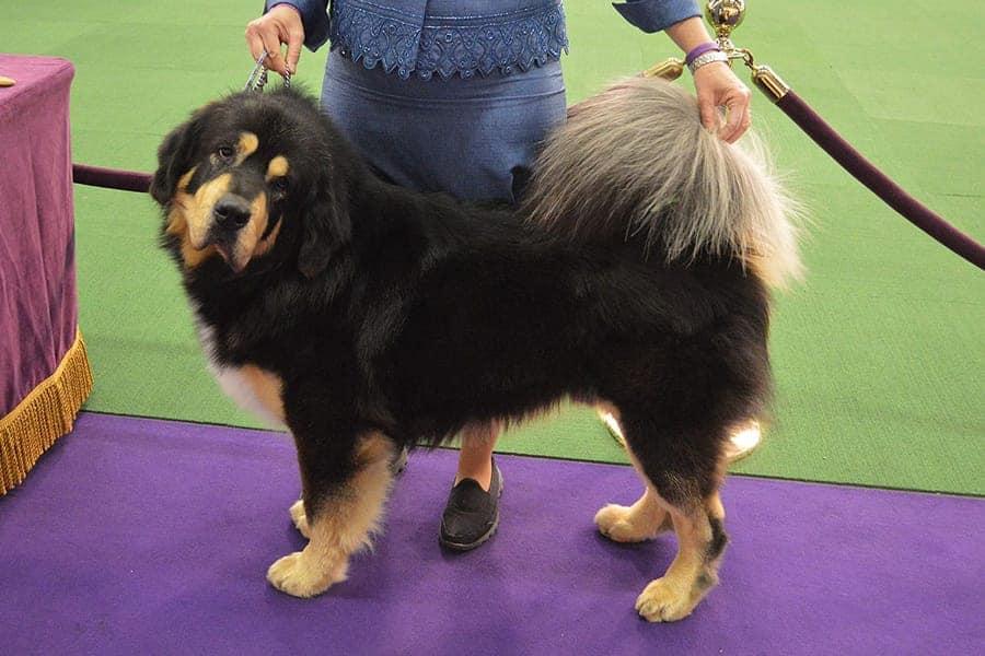 Tibetan Mastiff - Chinese Dog Breeds